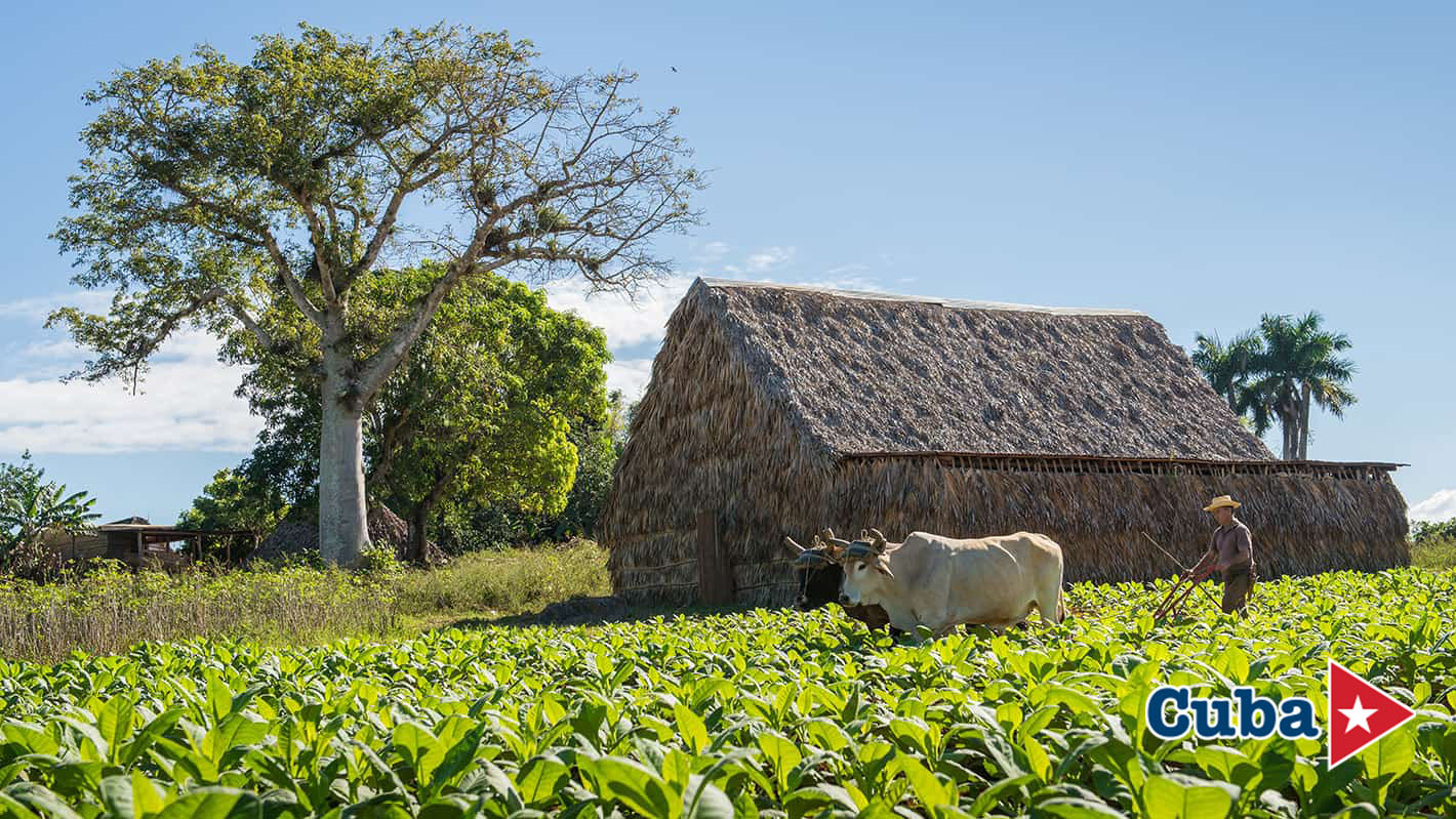 Bohio σε φυτεία καπνού την κοιλάδα Βινιάλες στην Κούβα