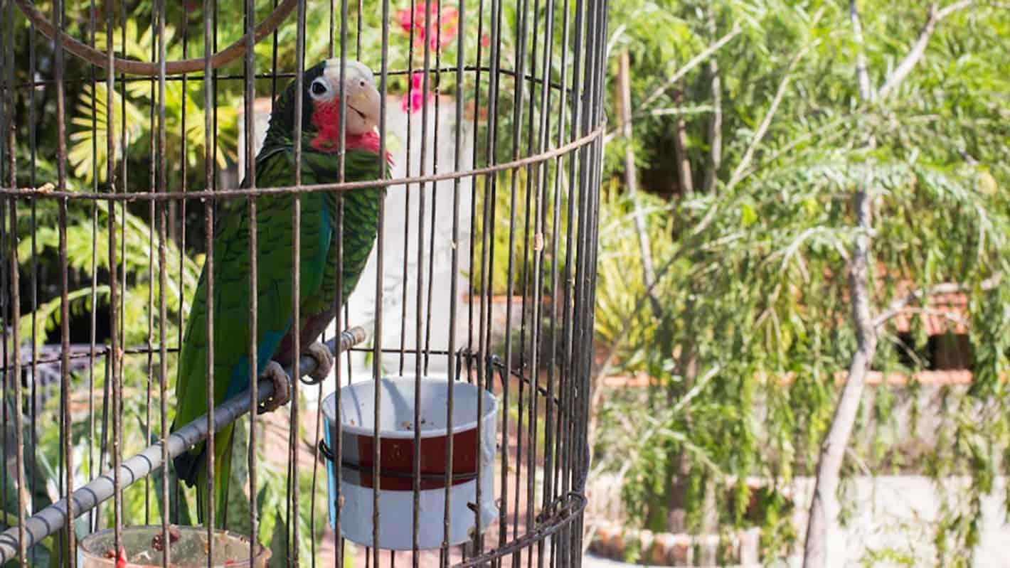 Ο παπαγάλος της βίλλας στην Αβάνα